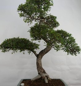 Bonsai Olmo cinese, Ulmus, no. 7094