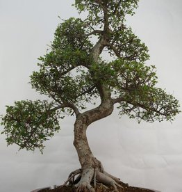 Bonsai Olmo cinese, Ulmus, no. 7095