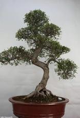Bonsai Chinese Elm, Ulmus, no. 7095