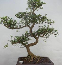 Bonsai Albero del pepe,Zanthoxylum piperitum, no. 7099