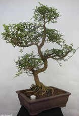 Bonsai Japanese Pepper, Zanthoxylum piperitum, no. 7099