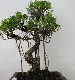 Bonsai Fig tree, Ficus retusa, no. 7103