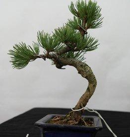 Bonsai Shohin Pino bianco, Pinus pentaphylla, no. 7104