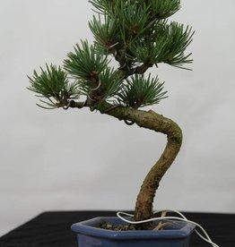 Bonsai Shohin Pino bianco, Pinus pentaphylla, no. 7106
