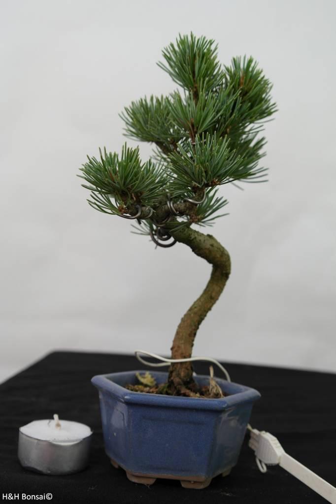 Bonsai Shohin Japanese White Pine, Pinus pentaphylla, no. 7106