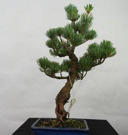Bonsai Pino bianco, Pinus pentaphylla, no. 7111