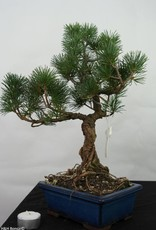 Bonsai Japanese White Pine, Pinus pentaphylla, no. 7113