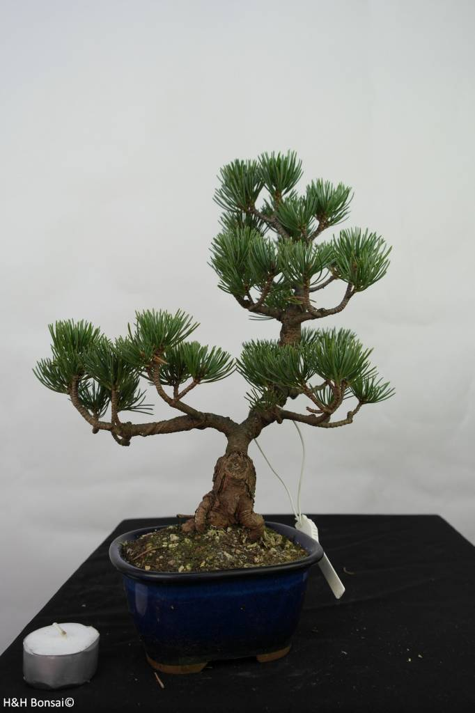 Bonsai Japanese White Pine, Pinus pentaphylla, no. 7115