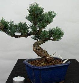 Bonsai Pino bianco, Pinus pentaphylla, no. 7116
