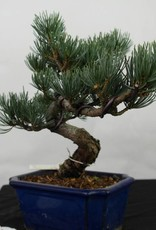 Bonsai Japanese White Pine, Pinus pentaphylla, no. 7116