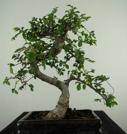 Bonsai Chinese Elm, Ulmus, no. 6585