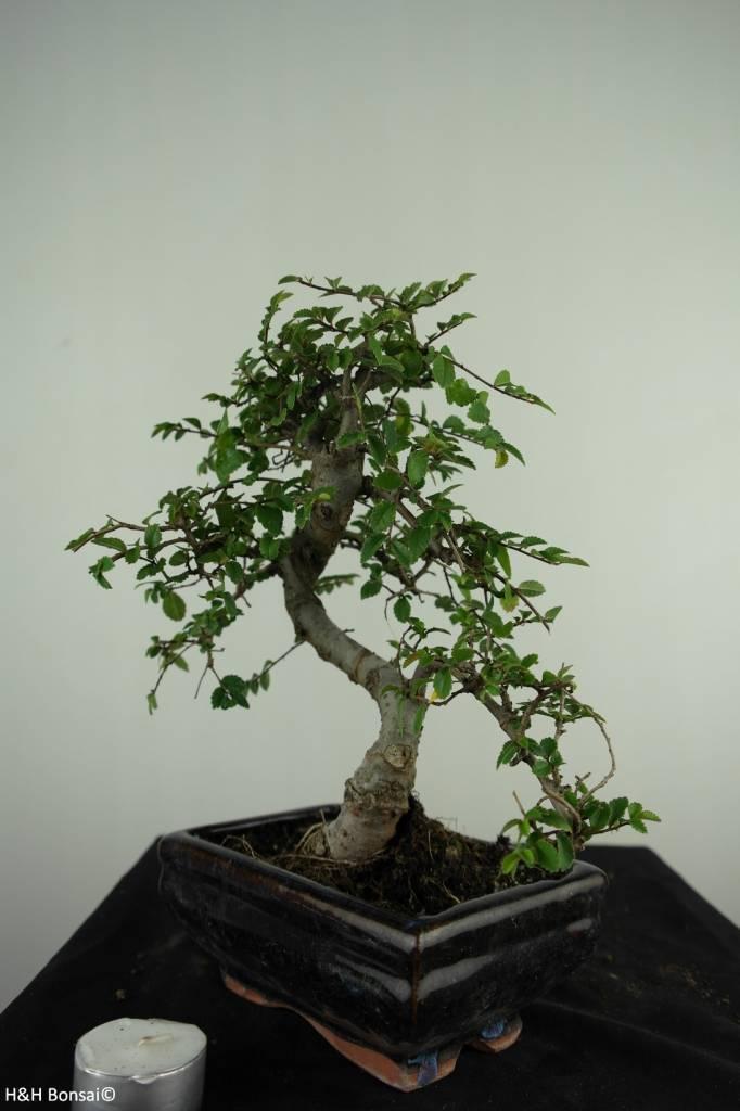 Bonsai Chinese Elm, Ulmus, no. 6585