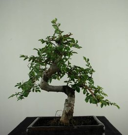 Bonsai Olmo cinese, Ulmus, no. 6587