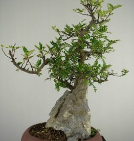 Bonsai Japanese Pepper, Zanthoxylum piperitum, no. 6907