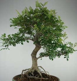 Bonsai Sophora, Kalimantan, no. 6980