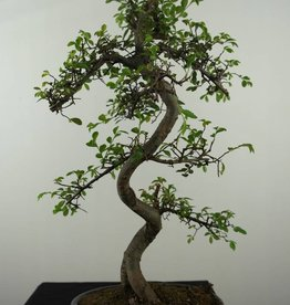 Bonsai Olmo cinese, Ulmus, no. 7124