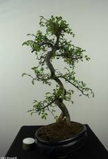 Bonsai Chinese Elm, Ulmus, no. 7124