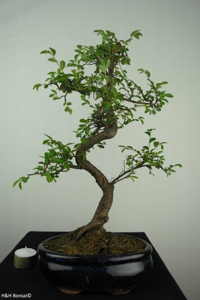 Bonsai Chinese Elm, Ulmus, no. 7126