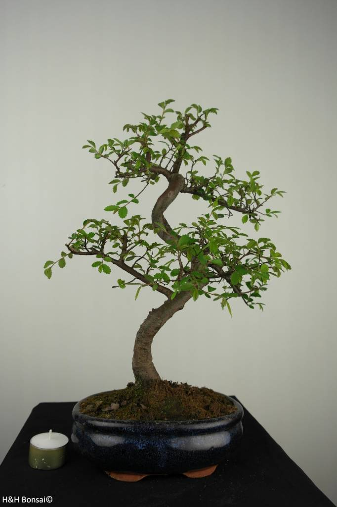 Bonsai Chinese Elm, Ulmus, no. 7127
