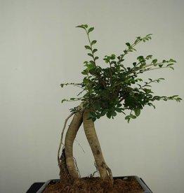 Bonsai Olmo cinese, Ulmus, no. 7149