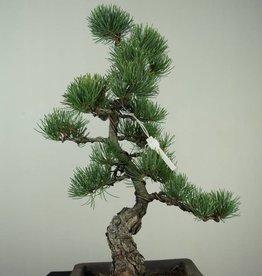 Bonsai Pino bianco, Pinus pentaphylla, no. 7150