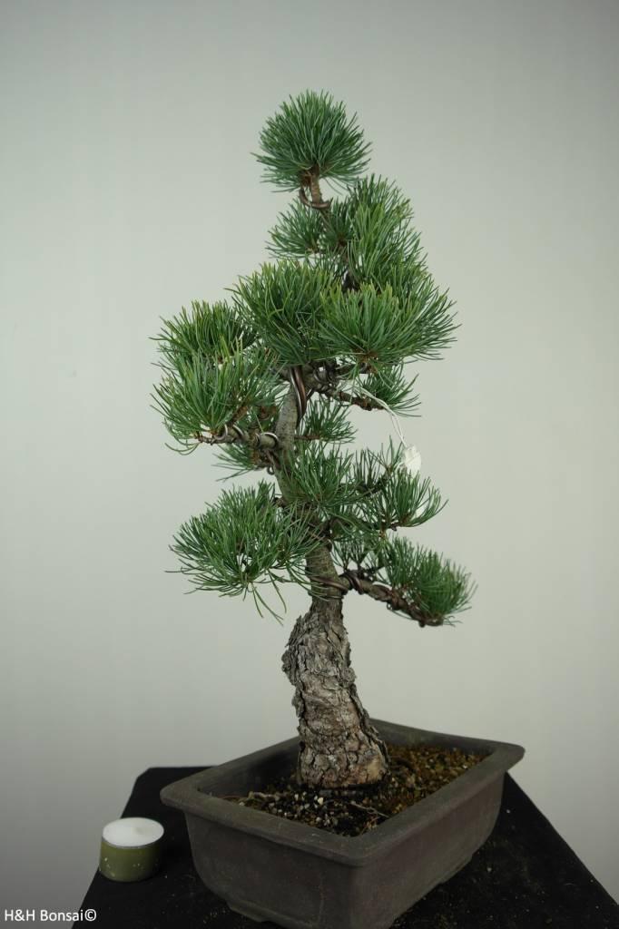 Bonsai Japanese White Pine, Pinus pentaphylla, no. 7150