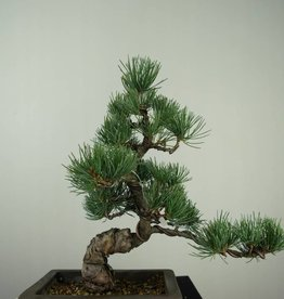 Bonsai Pino bianco, Pinus pentaphylla, no. 7152