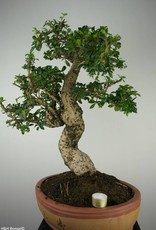 Bonsai Fukien tea, Carmona macrophylla, no. 7158