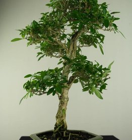Bonsai Serissa foetida, no. 7168