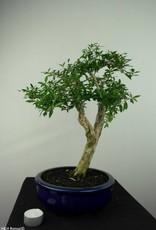 Bonsai Serissa foetida, no. 7177
