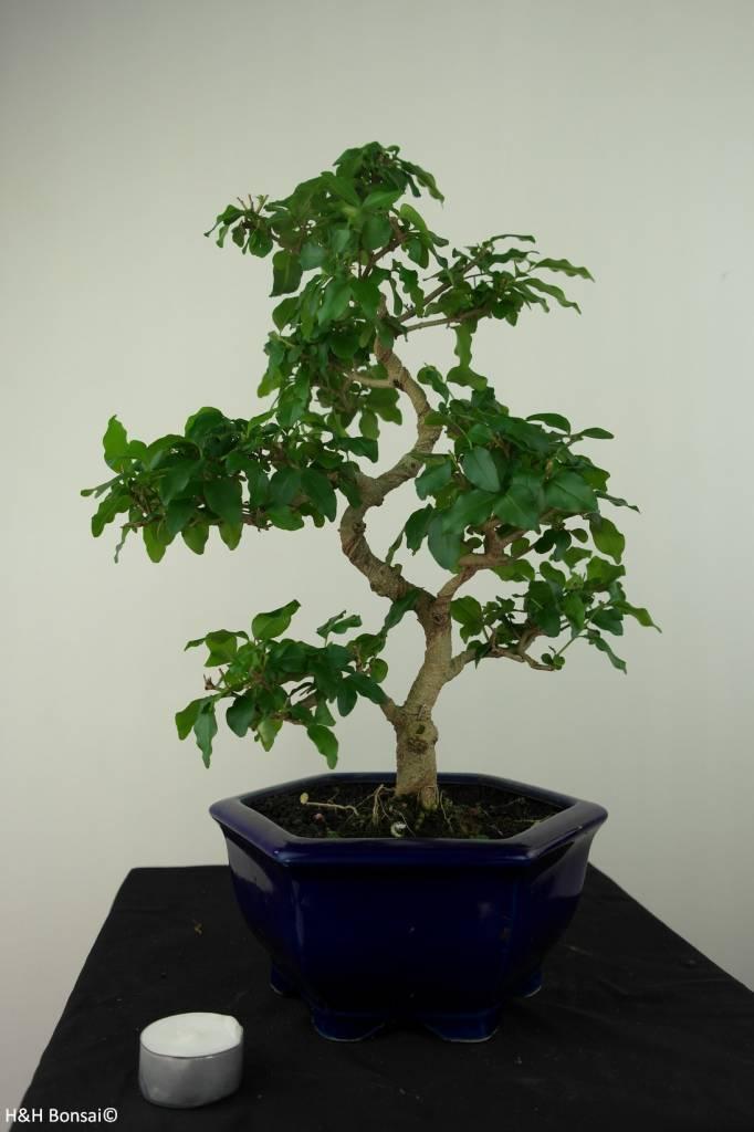 Bonsai Ligustro, Ligustrumsinense, no. 7183