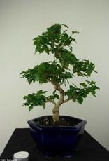 Bonsai Ligustrumsinense, no. 7183