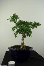 Bonsai Ligustro, Ligustrumsinense, no. 7184