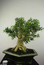 Bonsai Boxwood, Buxus harlandii, no. 7187