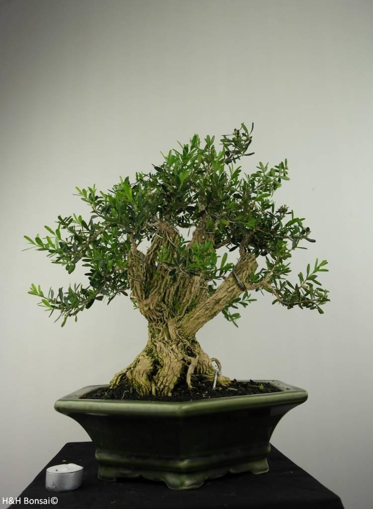 Bonsai Bosso, Buxus harlandii, no. 7187