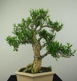 Bonsai Boxwood, Buxus harlandii, no. 7189