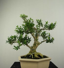 Bonsai Boxwood, Buxus harlandii, no. 7191