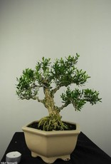 Bonsai Boxwood, Buxus harlandii, no. 7191