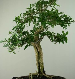 Bonsai Serissa foetida, no. 7199