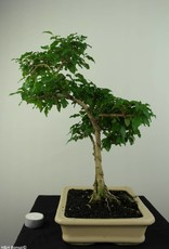 Bonsai Ligustrum sinense, no. 7203B