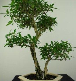 Bonsai Serissa foetida, no. 7217