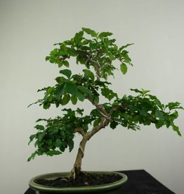 Bonsai Privet, Ligustrum sinense, no. 7226