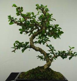 Bonsai Pianta del tè,Carmona macrophylla, no. 7239
