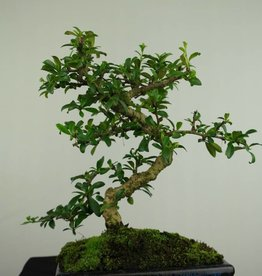 Bonsai Fukien Tea, Carmona macrophylla, no. 7245