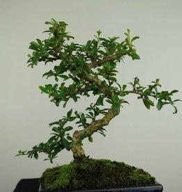 Bonsai Pianta del tè,Carmona macrophylla, no. 7245