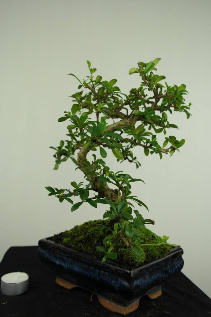 Bonsai Fukien Tea,Carmona macrophylla, no. 7245