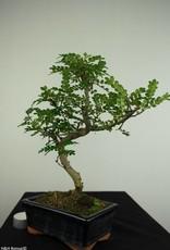 Bonsai Albero del pepe,Zanthoxylum piperitum, no. 7269