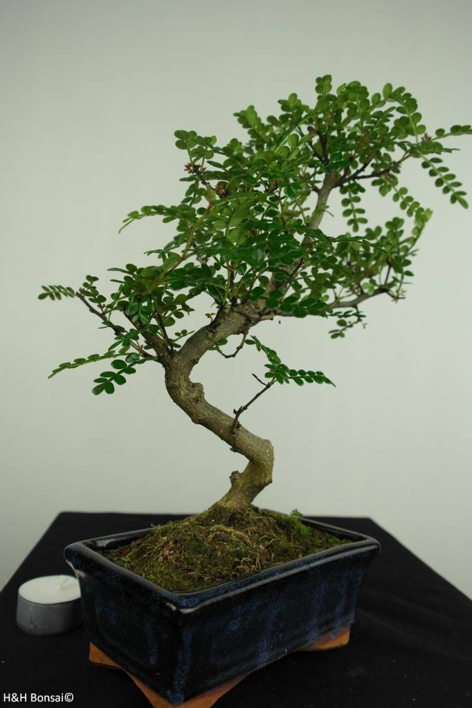 Bonsai Japanese Pepper, Zanthoxylum piperitum, no. 7269