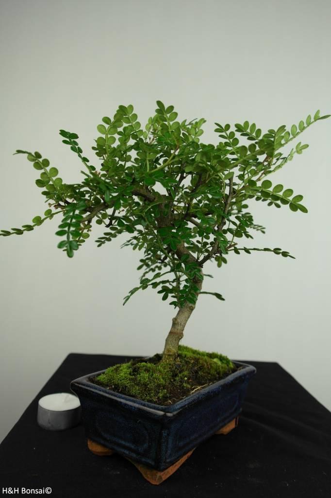 Bonsai Albero del pepe,Zanthoxylum piperitum, no. 7270