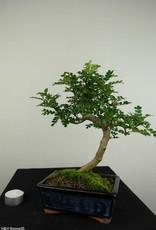 Bonsai Japanese Pepper,Zanthoxylum piperitum, no. 7271